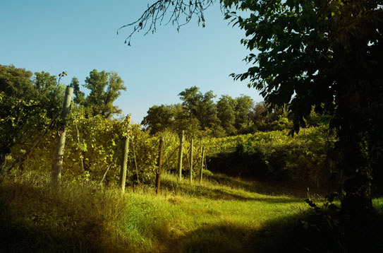 Manzano: the vineyard is surrounded by woodland